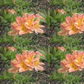 Apricot rhodies