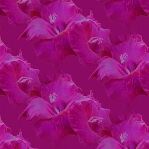 Fuchsia Gladiolus