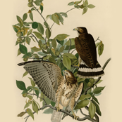 05-broad-winged-hawk