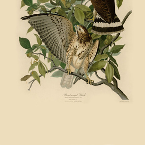 05-broad-winged-hawk