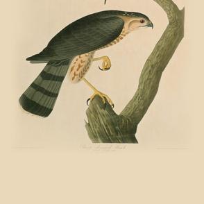 06-sharp-shinned-hawk