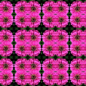 Zinnia Hot Pink