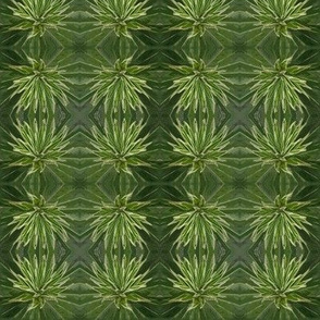 Cycad Stars