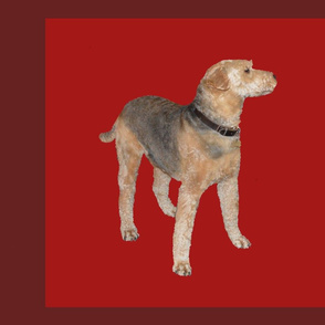 chillie airedale terrier