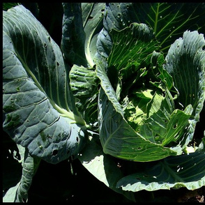 Eastport__2009__cabbage__HEAD_CLOSER_UP_________dsc05047