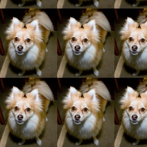 Honey the Pomeranian
