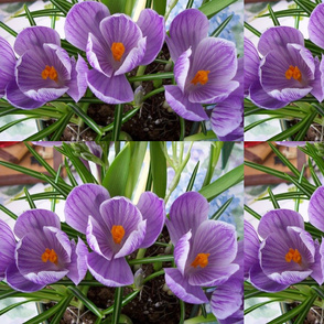 _purple crocus'_