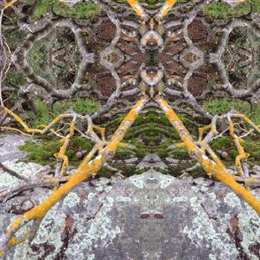 lichen   pacifica
