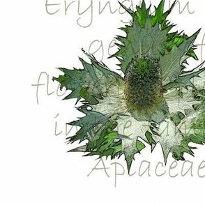 Eryngium #2