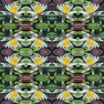 White Water Lilies 4203