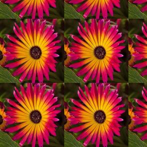mesembryanthemumspoonflower
