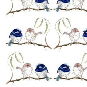 Fairy Blue Wrens