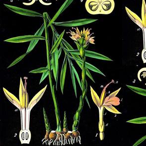 Ginger Botanical