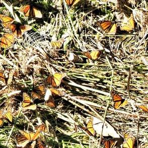 Monarch Gathering