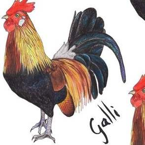 Rooster - Galli