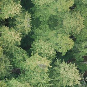 Sylvan Canadien Forest
