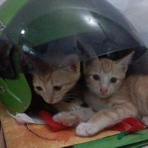 Kittens Under The Helmet