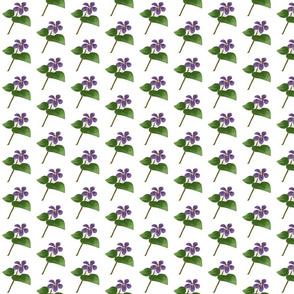Long Spur Violet