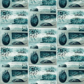 Maheut anemone-ed