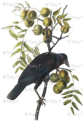 American Crow, Male