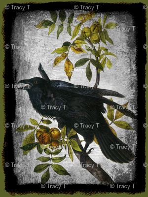Common Raven, Old Male