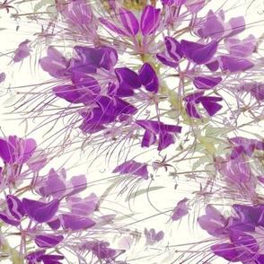 Violet Cleome  on White