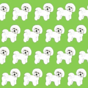 Bichon Frise dog  on Green