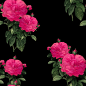 Redoute Rose ~ Hot Pink on Black