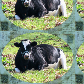 Resting Dairy Cow