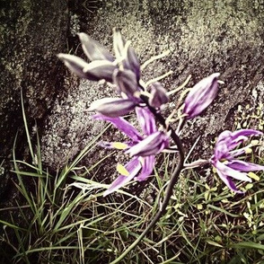 purple mountain flower