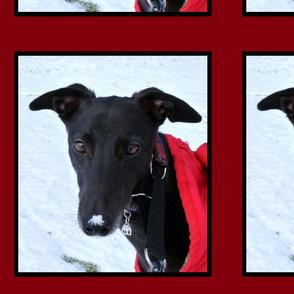 Sammy the rescued Greyhound