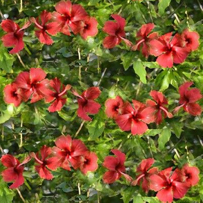 Hibiscus, soft edged