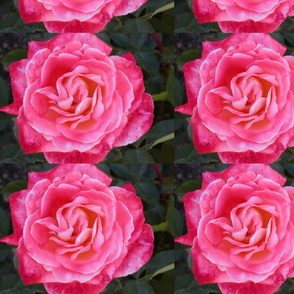 Pink Victorian Rose