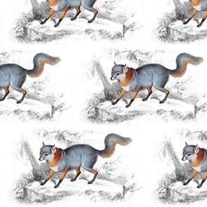 Jardine's fox