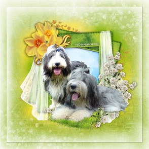 Bearded Collie - 001