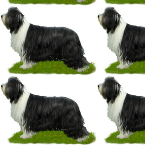 Bearded Collie - 004