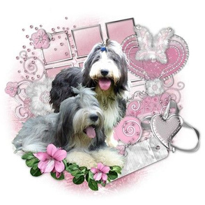 Bearded Collie - 005