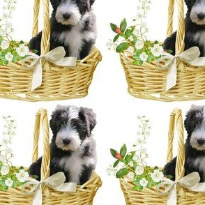 Bearded Collie - 006