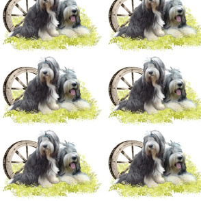 Bearded Collie - 007