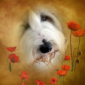 Bearded Collie - 018