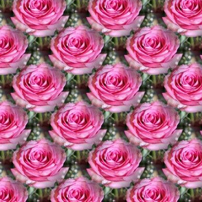 Pink Roses Forever