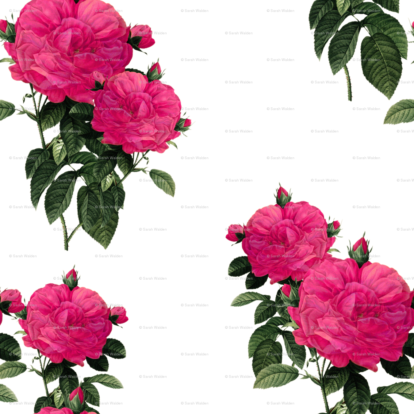 Redoute Rose Hot Pink Wallpaper Peacoquettedesigns Spoonflower