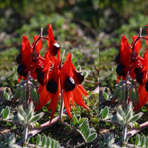 Down Under Desert Sturts Pea