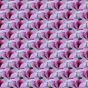 Regal Geranium