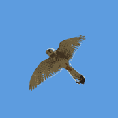 Birds of prey in flight