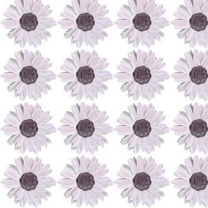 Daisy-ch