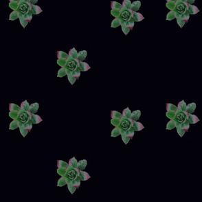 succulent solars