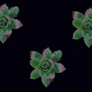 Solar Succulents