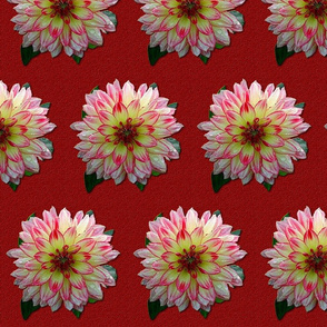 Dahlia - Pink and White