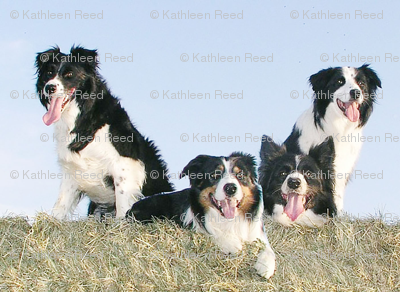 Border Collies in the hay